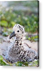 Albatross Acrylic Prints