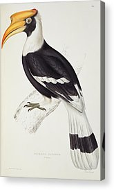 Hornbill Acrylic Prints