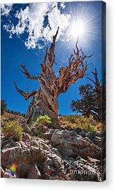 Pine Trees Photographs Acrylic Prints
