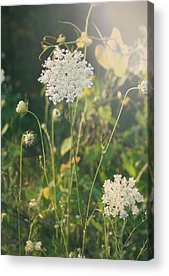 Queen Annes Lace Acrylic Prints