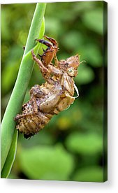 Cicada Acrylic Prints