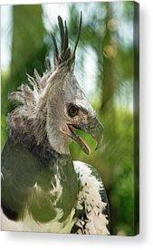 Harpy Eagle Acrylic Prints