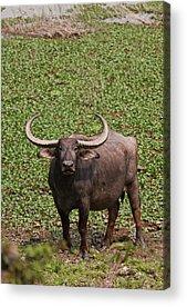 Kaziranga National Park Acrylic Prints
