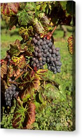 Bunch Of Grapes Photographs Acrylic Prints