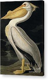 Audubon Acrylic Prints