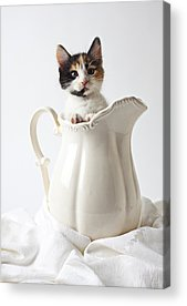 Calico Kitten Acrylic Prints
