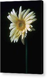 Gerber Daisy Acrylic Prints