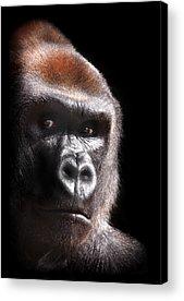 Gorilla Acrylic Prints