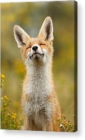 Fox Kit Acrylic Prints