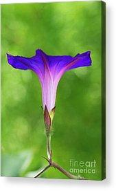 Convolvulaceae Acrylic Prints