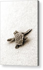Turtle Acrylic Prints