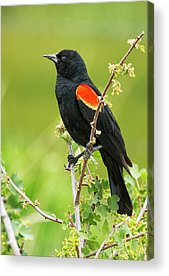 Red-winged Blackbird Acrylic Prints