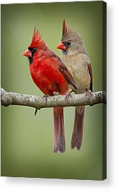 Redbird Acrylic Prints
