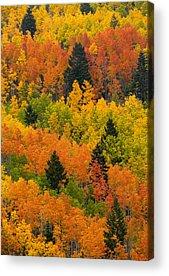 Pinus Ponoderosa Acrylic Prints
