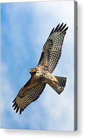 Red Tail Hawk Acrylic Prints