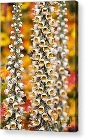 Foxglove Flowers Photographs Acrylic Prints