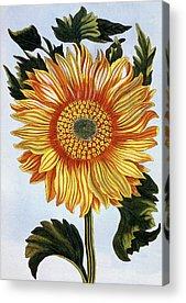 Sunburst Floral Still Life Paintings Acrylic Prints