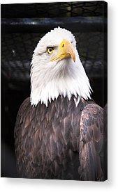 Eagle Acrylic Prints