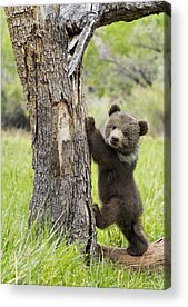 Grizzly Bears Photographs Acrylic Prints