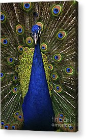 Courtship Display Acrylic Prints