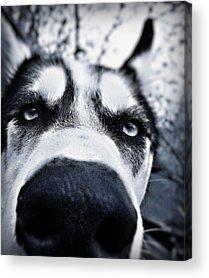 Husky Acrylic Prints