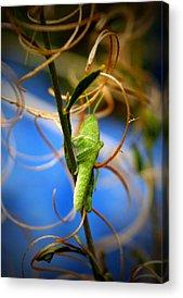 Grasshopper Acrylic Prints