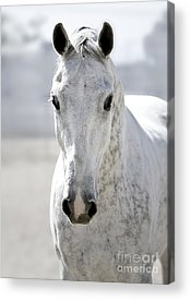 Bay Thoroughbred Horse Acrylic Prints