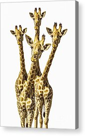 Giraffe Photographs Acrylic Prints