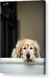 Dog On Front Steps Acrylic Prints