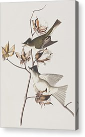 Flycatcher Acrylic Prints