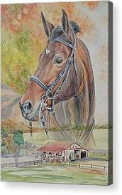 Hanovarian Dressage Horse Acrylic Prints
