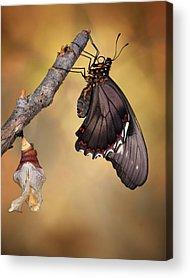 Swallowtail Acrylic Prints
