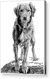 Golden Retriever Drawings Acrylic Prints