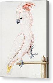 Parakeet Acrylic Prints