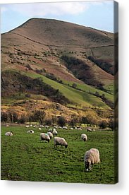 Flock Of Sheep Acrylic Prints