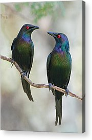Starlings Acrylic Prints