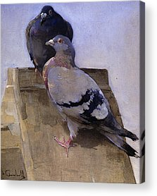 Pigeon Acrylic Prints