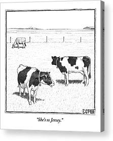 Cows Acrylic Prints