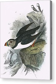 Puffin Paintings Acrylic Prints