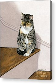 Domestic Short Hair Cat Acrylic Prints