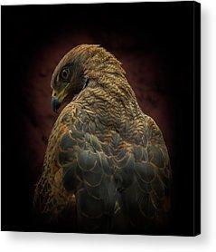 Hawk Acrylic Prints