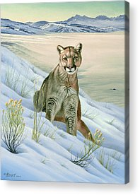 Cougar Acrylic Prints