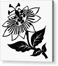 Passiflora Drawings Acrylic Prints