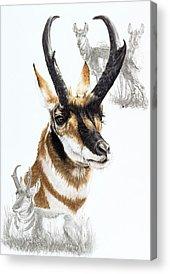 Pronghorn Acrylic Prints