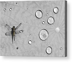 Dragonflies Acrylic Prints