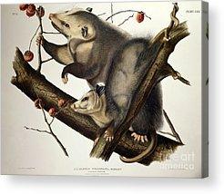 Possum Acrylic Prints