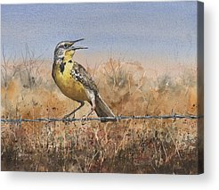 Meadowlark Acrylic Prints