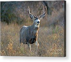 White-tailed Buck Acrylic Prints