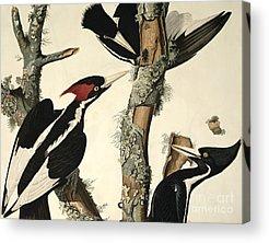 Woodpecker Acrylic Prints