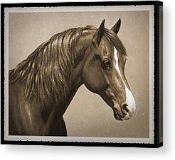 Morgan Horse Acrylic Prints